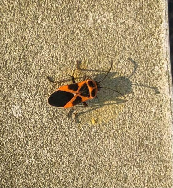 庭にこの虫がやたらとたくさんいるのですが、何ていう虫ですか? よろしくお願いします。