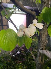 帰り道木の花が咲いていていい香りでした。 この木の名前が知りたいです。 ご存知のかた教えて下さい。