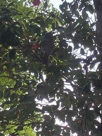 この鳥の名前わかりますか? 椿の蜜を吸ってました。尾が長めでした。すこし青いかもです。