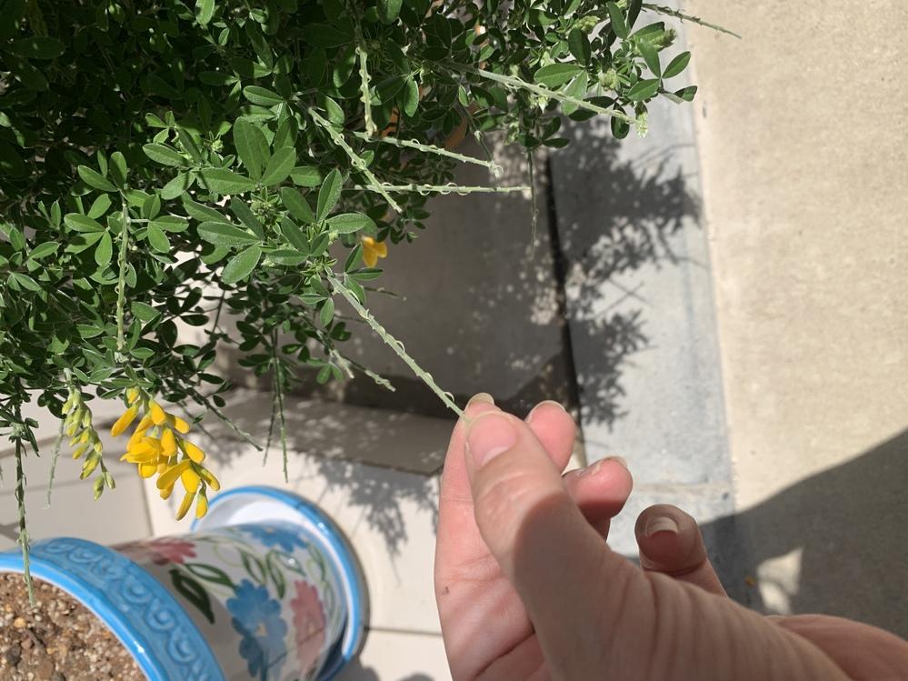 教えてください エニシダについてです。 花が散った後の、これは切った方が良いんでしょうか? よろしくお願い致します