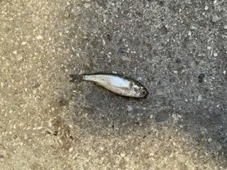 この魚はなんでしょうか?教えてください。近くの川でとりました。