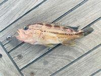 水深50メートル位の場所で釣れました。 サイズは20センチ無い位です。 なんの幼魚か分かる方いましたらお願いします。