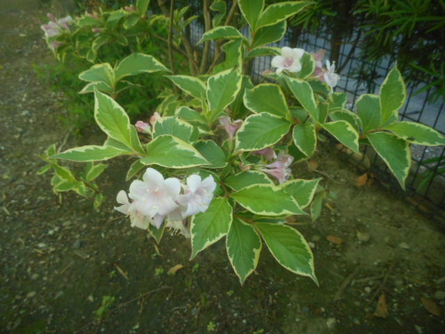 今朝、近所で咲いていた花です。 特徴のある葉をしていますが、調べても分かりません。 名前をお分かりの方、教えて下さい。