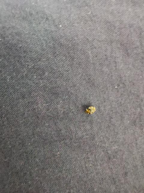 この虫なんですか? 今日だけで2回家の中で見てしまいました… まさかGのあかちゃん………?