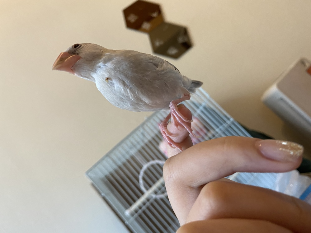 文鳥の首に爪のようなものが生えているのですが、これはなんなのでしょうか。 体調は元気です。 生後2ヶ月ほどの文鳥さんです。