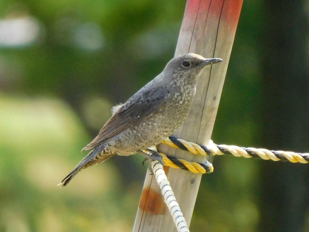 この子は何と言う名前の鳥ですか?図書館の公園にいました。