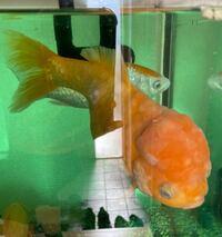 この魚は金魚ですか?10〜15年ぐらい前にお祭りで取ってきたものです。