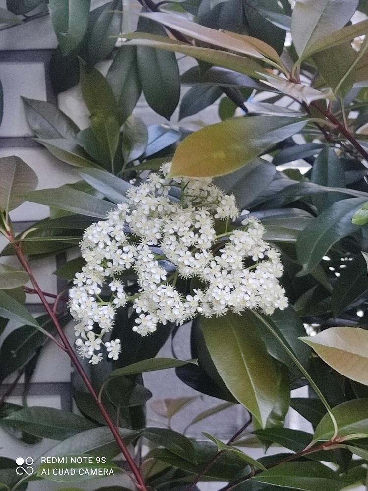 植木の名前が知りたいです。 長年育てているのですが名前を知りません。 全長2mくらいです。 今月この白い花が咲きました。 宜しくお願い致します。