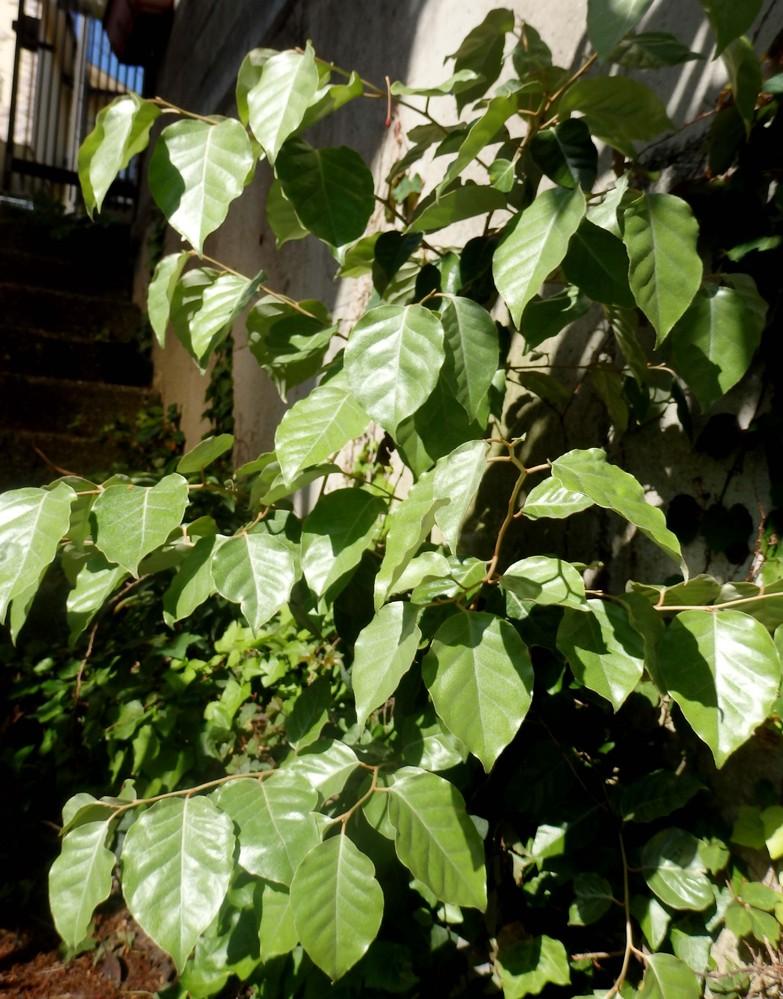 この木もやたらと出てきています。この木はプランターに育っています。葉の裏は銀白色。グミみたいに見えますが、よくわかりません。 教えてください。