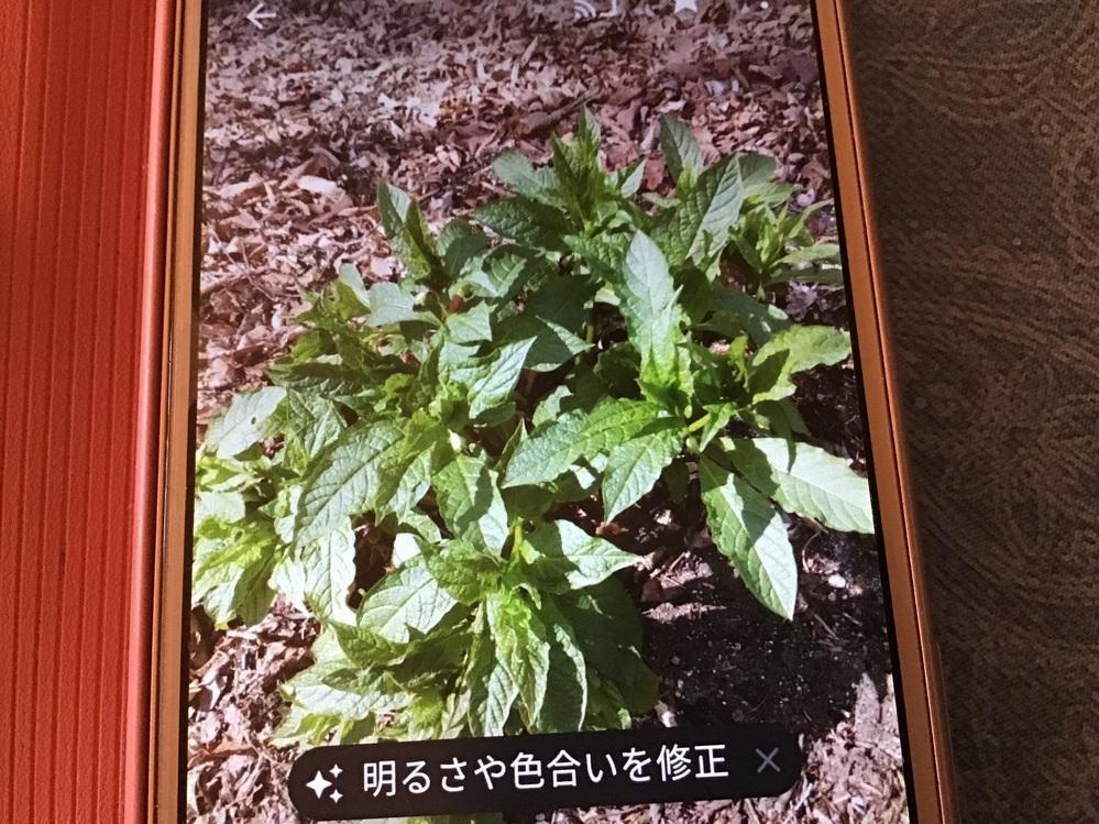 何方かこの植物の名前教えて下さい、標高1300mくらいの山に、花は未だ咲いていないのですが、咲くと紫色です宜しくお願い致します。