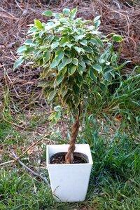 観葉植物のベンジャミンの鉢植えですが、今は幹の根元から40センチくらいの樹高です。 これを日のよく当たる庭に植えれば秋口頃には1メートルくらいには成長しますか、? 北関東在住です、肥料は根元より離して巻いておくのも大丈夫でしょうか、? どんな肥料がよいでしょうか? (早く大きく育てたいので、・・)  秋にはまた鉢植えにして部屋の中で育てれば良いかと思ってw