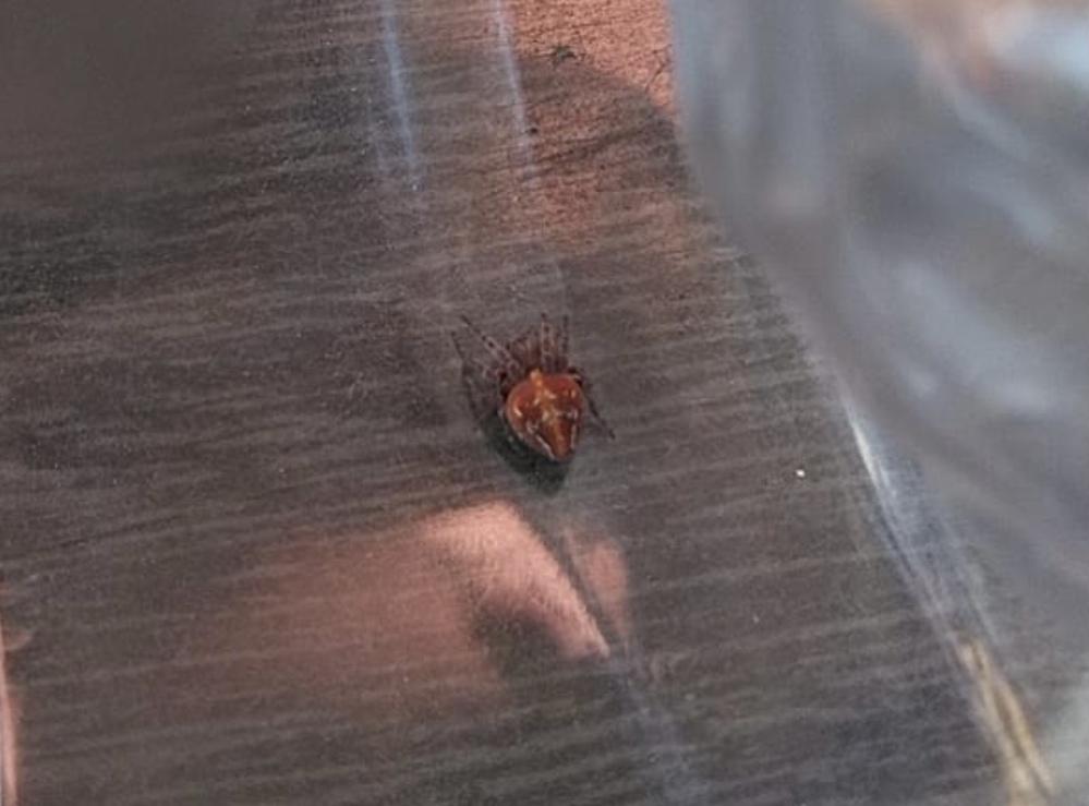 この蜘蛛の名前を教えて欲しいです。 珍しい蜘蛛なのか、また危険性も教えて下さい。 よろしくお願いします。