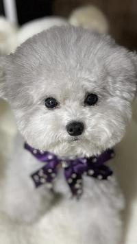 この犬が可愛くてしょうがないのですが、犬種は何でしょうか?トイプードルかと思ったのですが、似た個体を見かけません。