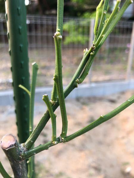 みかんの木の新芽について みかんの木を購入し、先月3月に地植えをしました。 しかし、植え付け数日で強い風に遭い、葉がほとんど落ちてしまいました。 とても心配しています。 写真、見づらいかと思いますが、新芽が出る兆候はあるでしょうか?? 脇芽?のような箇所にポチッと見えるものに期待をしてはいます。 関東沿岸なので、比較的暖かい気候だと思います。