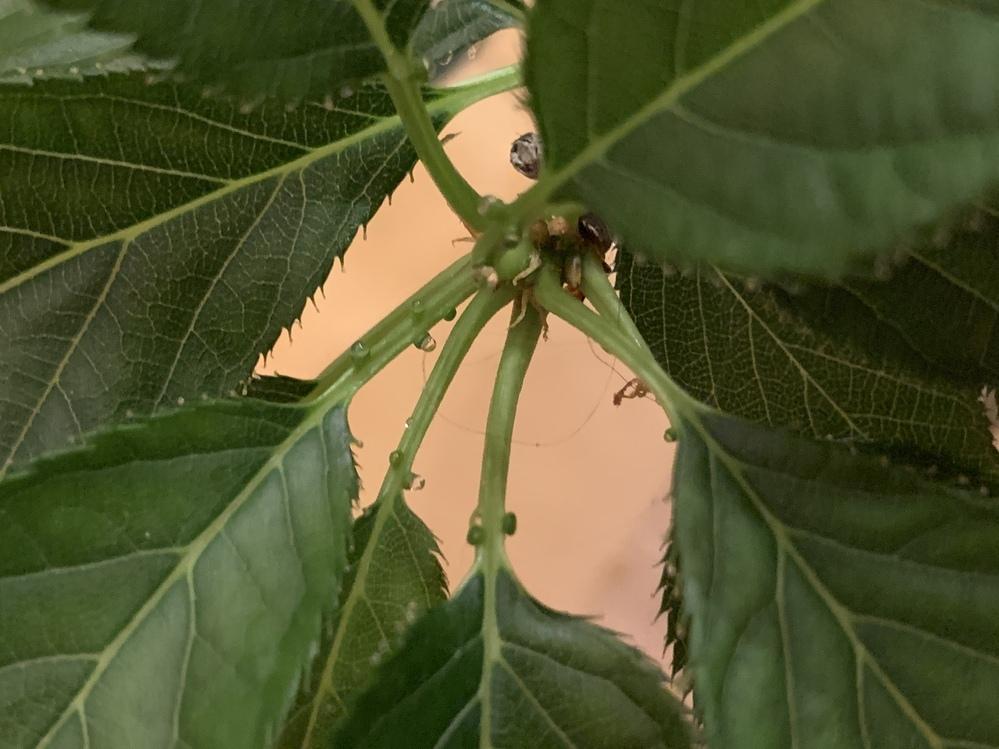 旭山という種類の桜の鉢植えを育てているのですが、茎?のところに画像のような透明なぷつぷつができていました。 触ってみるとすこしねばっとするような感じでしたが、これは病気でしょうか?それとも問題ありませんか? また、対処が必要な場合、どのようにすればいいでしょうか、、? どなたかお詳しい方、回答おねがいいたします。