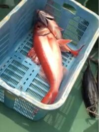 この赤い魚は何という名前ですか? 50センチくらいなら魚屋でいくらぐらいするものですか?