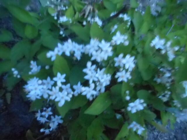 今朝の日の出前、しかも吹きさらしの風の中で撮ったので鮮明に写っていません。 どことなくブルースター(オキシペタラム)のように見えますが、合っていますか? それとも別の花でしょうか? お分かりの方、教えて下さい。 ぼやけている写真で本当に申し訳ありませんが、よろしくお願いいたします。
