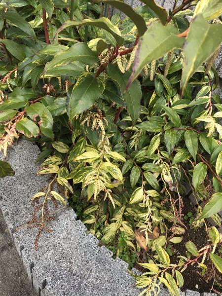 家の前にあるこの植物は なんて言うかわかりますか?