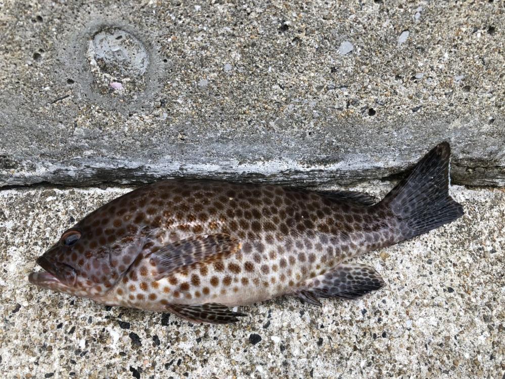 この魚の名前を教えてください。キジハタ(アコウ)でしょうか?