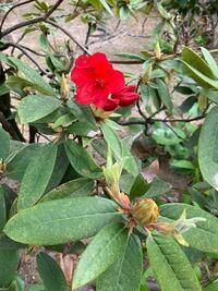 この赤い花を咲かせる木は何という名前ですか?