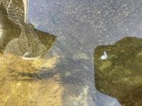 錦鯉を飼っています。 池を見たら白いミミズの死骸の様な物がありました。 網ですくうとぶよぶよのゼリー状の物でした。 これはなんでしょうか? 詳しい方教えてください。