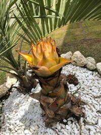地植え3年目のジャパニーズバナナの木ですが、今年の新芽の出方が違います。 至って普通の成長でしょうか。