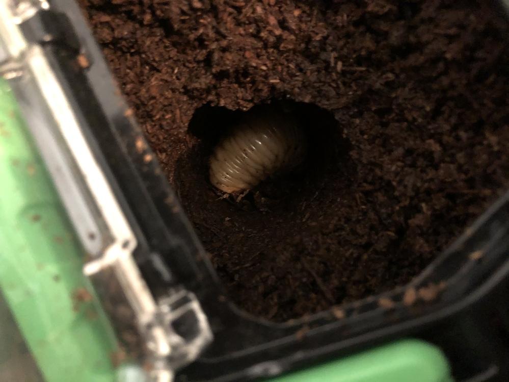 カブトムシの蛹室の上部を壊してしまいました。 この後、どうしてあげたら良いでしょうか? 初めて