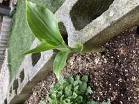 庭に芽が出て育ってきました。これが雑草なのか、どんな植物なのか気になっています。教えていただけますでしょうか?