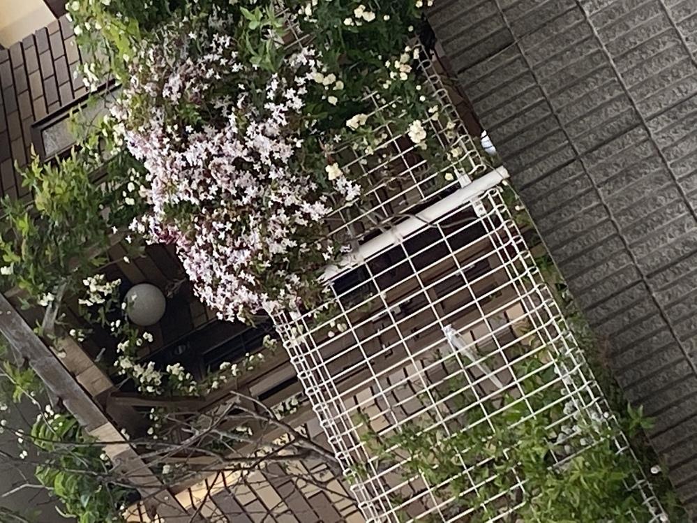 この花の名前を教えて頂けないでしょうか? 白木モッコウバラの横のピンクの星型の花です。 よろしくお願い申し上げます。