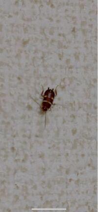 これってゴキブリ赤ちゃんでしょうか? 壁を見たら黒い虫みたいのがいたので調べたらゴキブリに似てる赤ちゃんって出てきました。わかる方いらっしゃいますか??