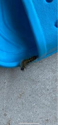 ベランダに写真の幼虫が何匹かいます この幼虫は何の幼虫ですか? また、ベランダに野菜の苗を置いてますが 被害はうけますでしょうか??