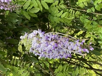 このお花は桐の花でしょうか?