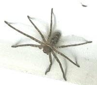 質問です、この蜘蛛は部屋に居ても大丈夫な蜘蛛なんでしょうか? 特に種類、何を食べるのか、毒があるか、