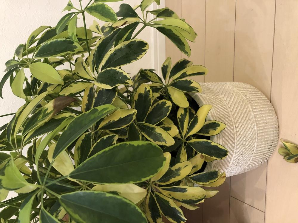 シェフレラ(カポック) 葉が落ちる 1ヶ月ほど前にシェフレラハッピーイエローを購入しました。 水やりは週一で、毎日葉に霧吹きで水をかけていましたが、半月ほどしてから毎日沢山の葉が落ちます… 一日10枚くらい落ちています。 葉先や中心から茶色く変色しているものもあります。 観葉植物を育てるのは初めてで、何をしたら改善されるのか調べてもいまいち分かりません… どなたかアドバイスお願いいたしますm(__)m
