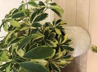 シェフレラ(カポック) 葉が落ちる  1ヶ月ほど前にシェフレラハッピーイエローを購入しました。 水やりは週一で、毎日葉に霧吹きで水をかけていましたが、半月ほどしてから毎日沢山の葉が落ちます… 一日10枚くらい落ちています。  葉先や中心から茶色く変色しているものもあります。 観葉植物を育てるのは初めてで、何をしたら改善されるのか調べてもいまいち分かりません… どなたかアドバイス...