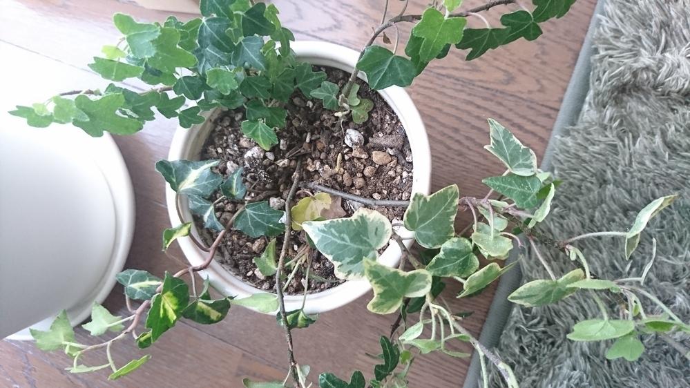 ヘデラの育て方について ヘデラを寄せ植えているのですが、春になり新芽が出てきているのに、根元から葉が枯れ落ちていきます。 調べても何が原因か分かりません。 助けてください。
