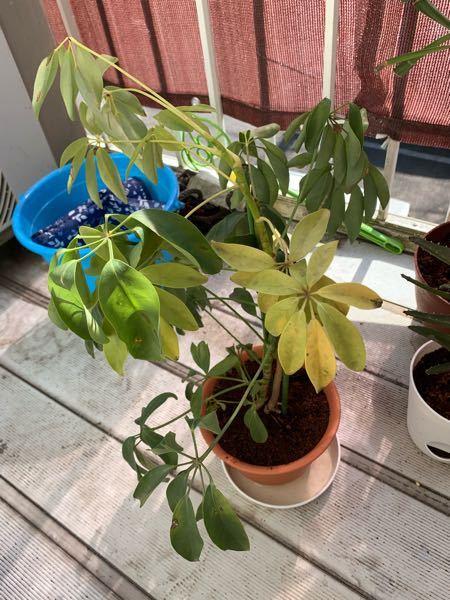 母の家にあったカポックの鉢が小さくなり根詰まりしているようでしたので、一回り大きい鉢に植え替えしました。 植え替える前から一部枝から葉の部分が黄色くなっています。また、植え替えしたせいか緑色の葉...