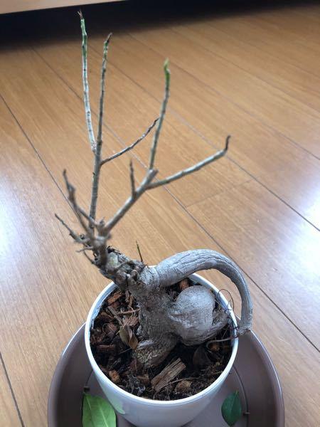 枯れそう?なガジュマルについて 3月ごろに1ヶ月くらい水やりを放置し、写真のような状態になってしまいました。 葉はすべて落ち、根はしわしわで中身がない感じで、でてきた新芽も黒くなってしまいま...