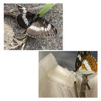 羽折れた蝶見つけたんですけどこれ何の種類ですか?