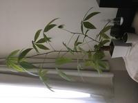 パキラの剪定について教えてください。 室内でパキラを育てており元気に育っていたのですが、去年の冬に乾燥と低温からか春先にかけて葉の多くが綺麗に黄色く染まって落ちてしまい、すっかり徒長したようになってしまいました。  パキラ を大きく育てたいと思っていますが、この場合は剪定して仕立てた直した方がいいでしょうか?それともこのまま様子を見守るべきでしょうか?  週末に鉢の植え替えをして夏が...