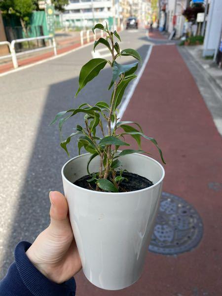 この観葉植物の名前を教えてください!!