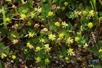 道端に群生していたこの植物の名前を教えてください。よろしくお願いいたします。