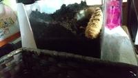 【カブトムシの幼虫 前蛹の前兆でしょうか】 質問お願い致します。 初めてカブトムシの幼虫を飼っており、少し様子が変だと慌てる日々です。 さっきからなんですが、幼虫が土の上に出てきてうねうね動くものの、土の中になかなか戻りません。これまで土を飼えたとき等比較的すぐ潜ってました。 5月頃前蛹になる時期のようでGW辺りまでに最後のマット入れ替えした方が良いと見かけたので、先週マットを入れ替えたので...