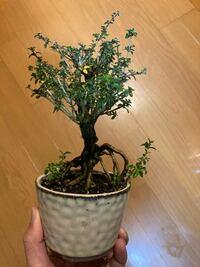 教えてください。 写真の植物の名前は何でしょうか? たまたまホームセンターで購入したのですが、名前を聞くのを忘れました。。 宜しくお願い致します。