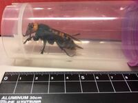 これオオスズメバチだと思うんですけど すごく大きい気がします。 女王蜂と働きバチの見た目の違いってありますか?