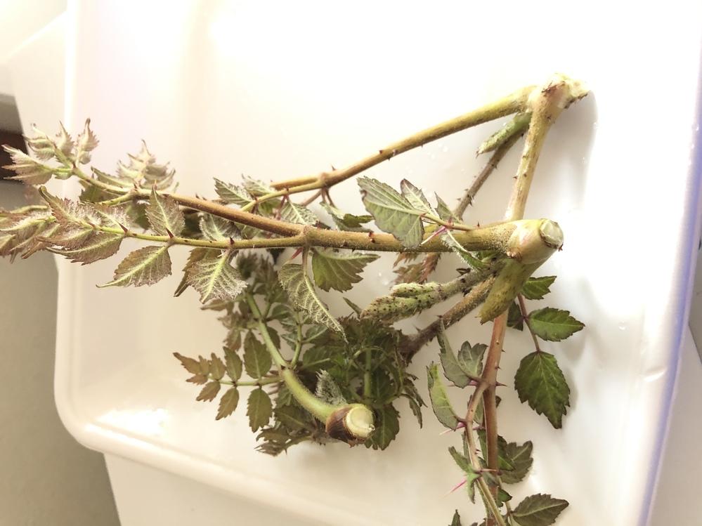 これは、タラの芽ですか?それとも山漆の芽ですか?庭先に生えていたのですが、区別がつかず… わかる方教えて下さい。宜しくお願い致します。