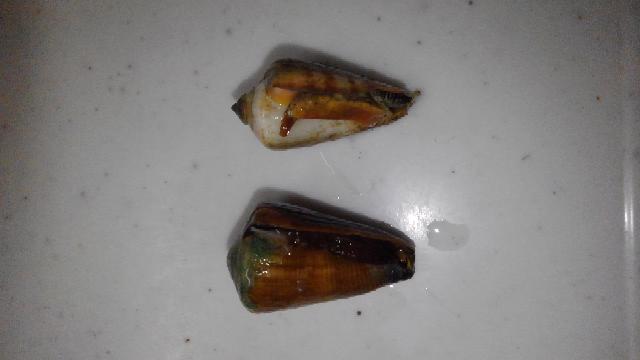 磯で取れる貝についての質問です。写真の左側の貝は何て名前ですか? 右側はチャンバラ貝だと分かりますが、左は同じ様な触手が見当たりません。 30個程磯で拾って来ました。 イモガイではありませんよね(笑)❓