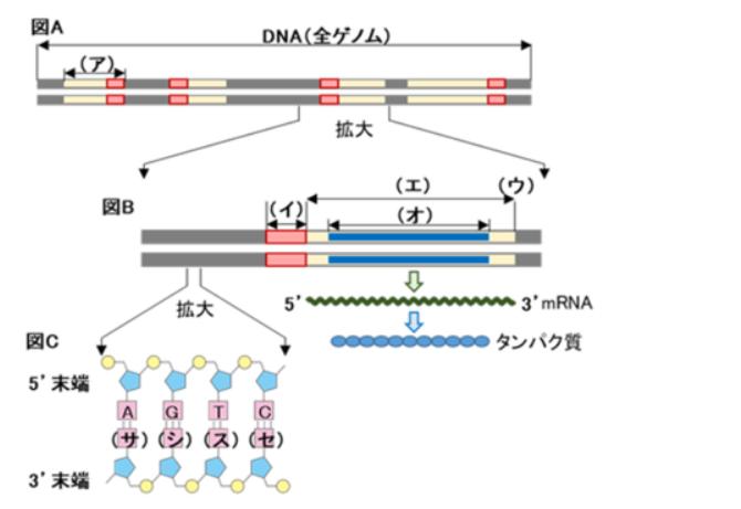 ゲノム構造を示す図A、図Bの(ア)~(オ)の語句の名称を教えてください。 よろしくお願いいたします。