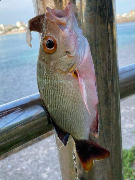 この魚の名前を教えてください。 石垣島.15〜20センチ程度