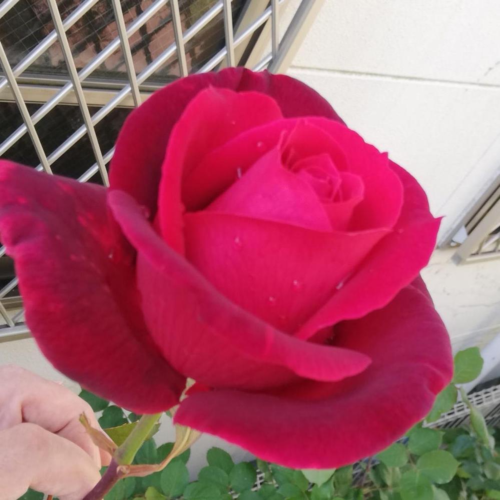 決めにくいとは思いますが「似てるなー」で良いのでこの薔薇の名前をお願いします。 「膨大な種類が有るので駄目だ…。」は結構です。 何々に似てるで結構ですので、宜しくお願いします。